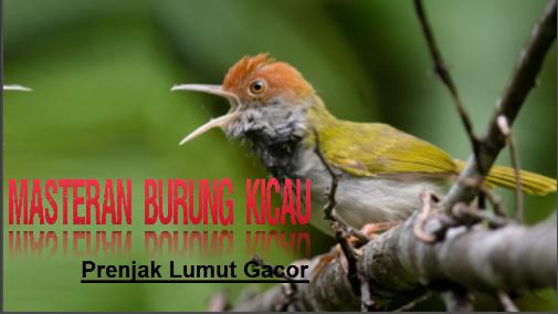 Asli Suara Prenjak Lumut Gacor Untuk Pancingan Kicaumania Prenjak Ini Adalah Suara Asli Burung Prenjak Lumut Suara Burung Ini Cocok Untu Burung Suara Asli