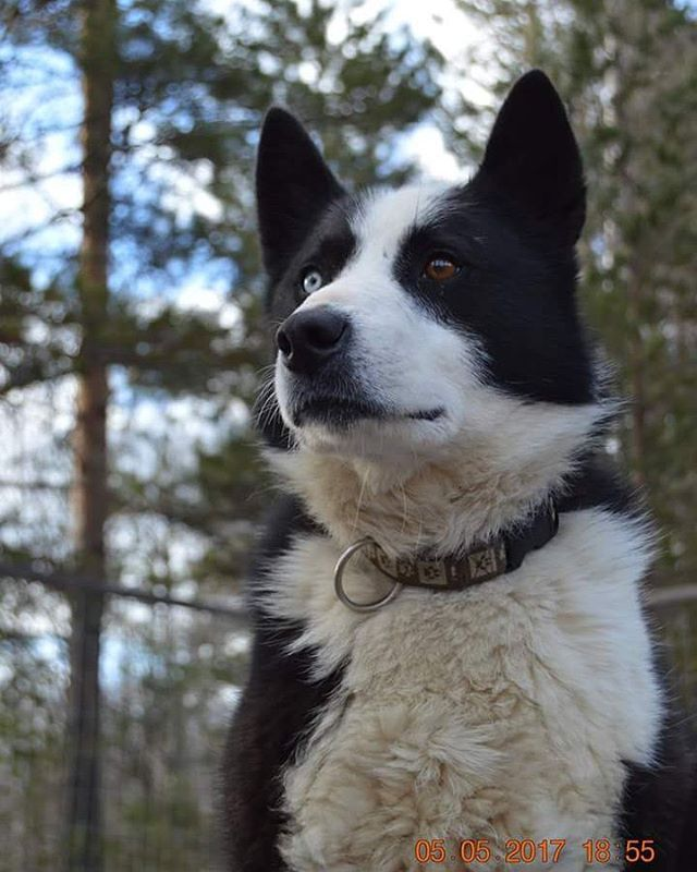 Karelian Bear Dog Karelian Bear Dog Dogs Bear Dog