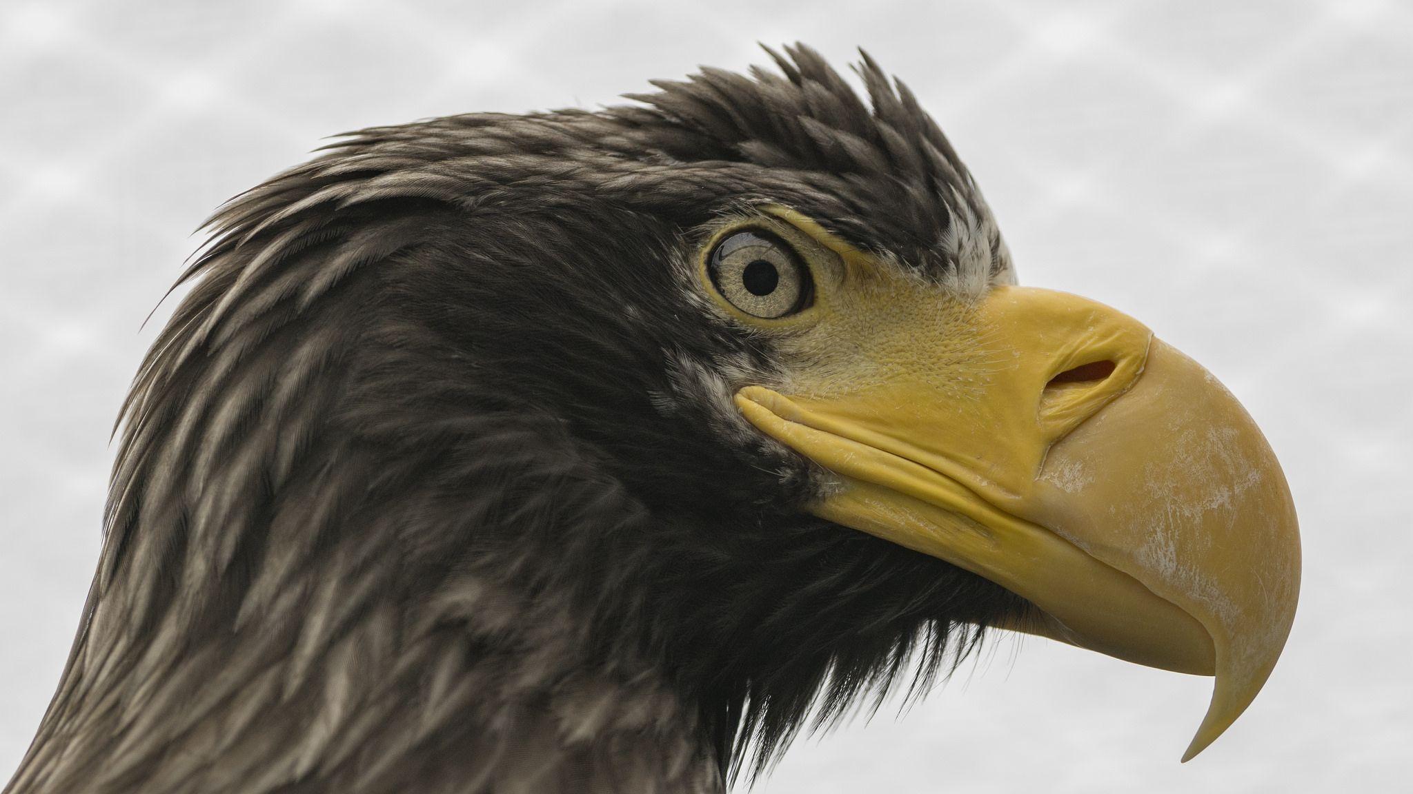https://flic.kr/p/HSKpKM   Riesenseeadler   Der Riesenseeadler (Haliaeetus pelagicus) ist ein Greifvogel aus der Gattung der Seeadler. Er ist der größte Seeadler und gekennzeichnet durch schwarz-weißes Gefieder, den außerordentlich großen und kräftigen orangegelben Schnabel sowie seine paddelförmigen Flügel. Riesenseeadler leben an Flüssen und Küsten des pazifiknahen Russland. Je nach geographischer Lage sind sie Standvögel oder Zugvögel, die wichtigsten Überwinterungsgebiete liegen in…