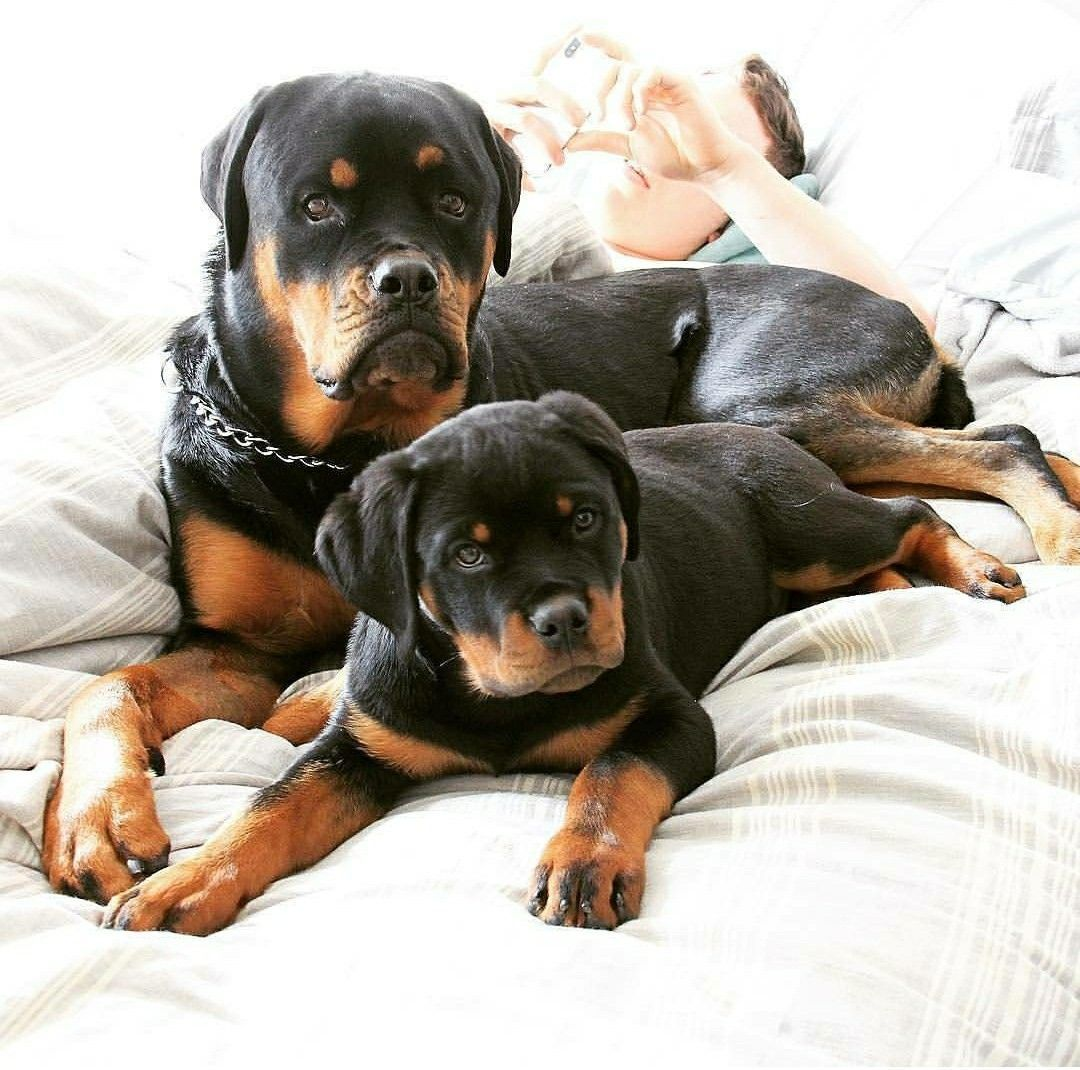 Pin By Sabine On Rottweilers And Other Beautiful Creatures Baby