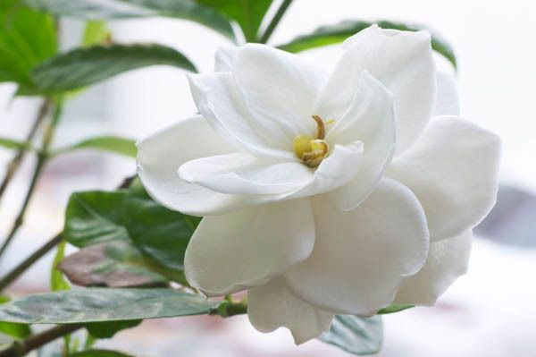 Over 200 Gardenia Varieties Are Available In A Wide Range Of Height Flower Size And Color Leaf Size A Gardenia Indoor Gardenia Wedding Flowers Gardenia Plant