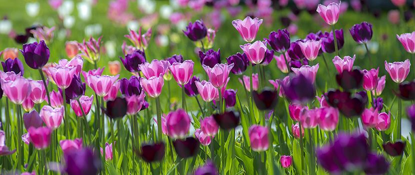 Tulip Bulbs Pinotage Tulip Bulbs For Sale Tulip