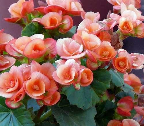 Begonias Indoor Flowering Plants Blooming Plants Flower Pots