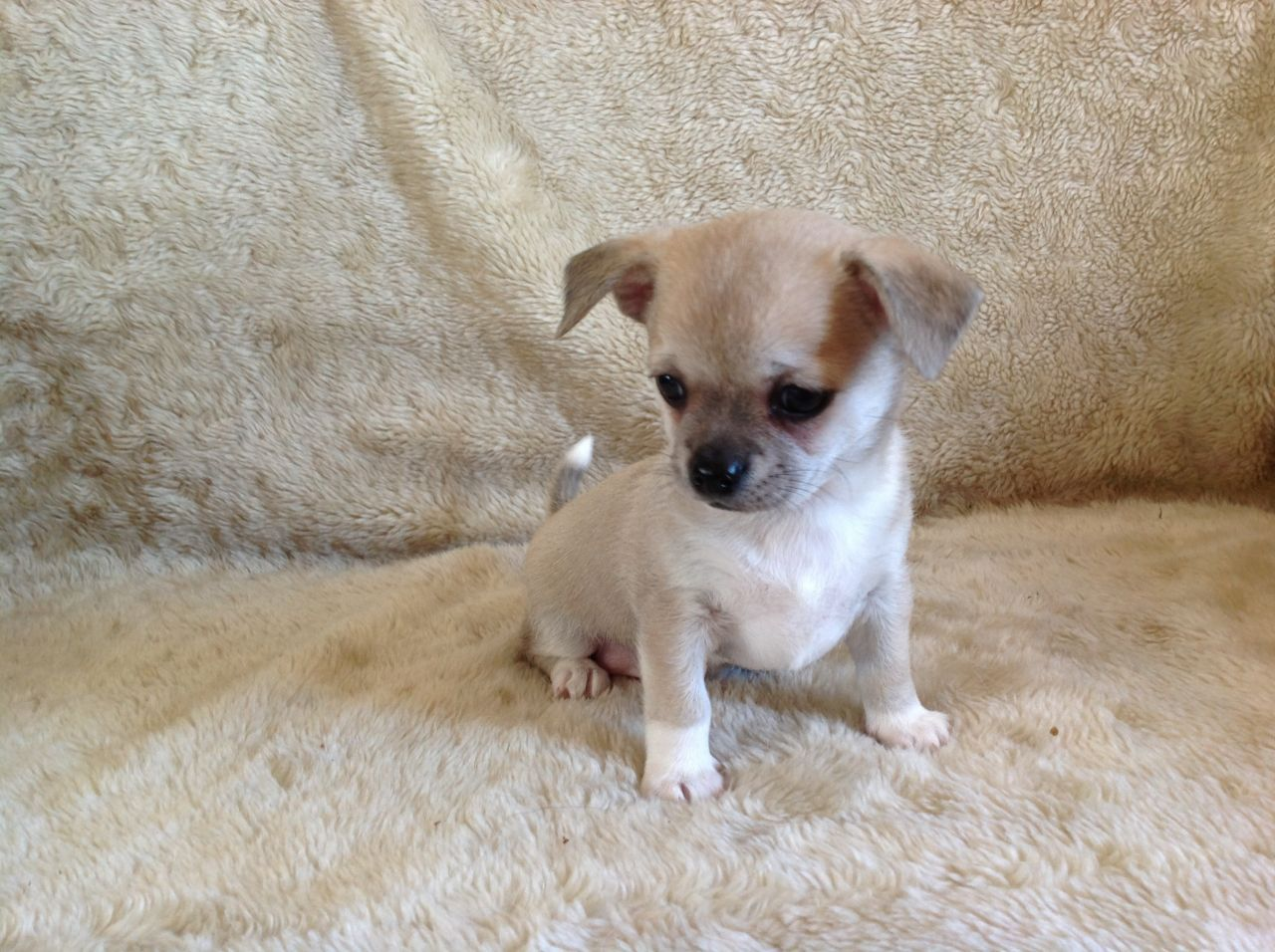 Types Of Chihuahua Breeds Dog Breed Profile Dogchannel