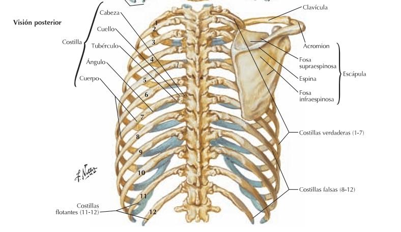 Anatomia I Estructura Osea De La Pared Toracica Anatoin