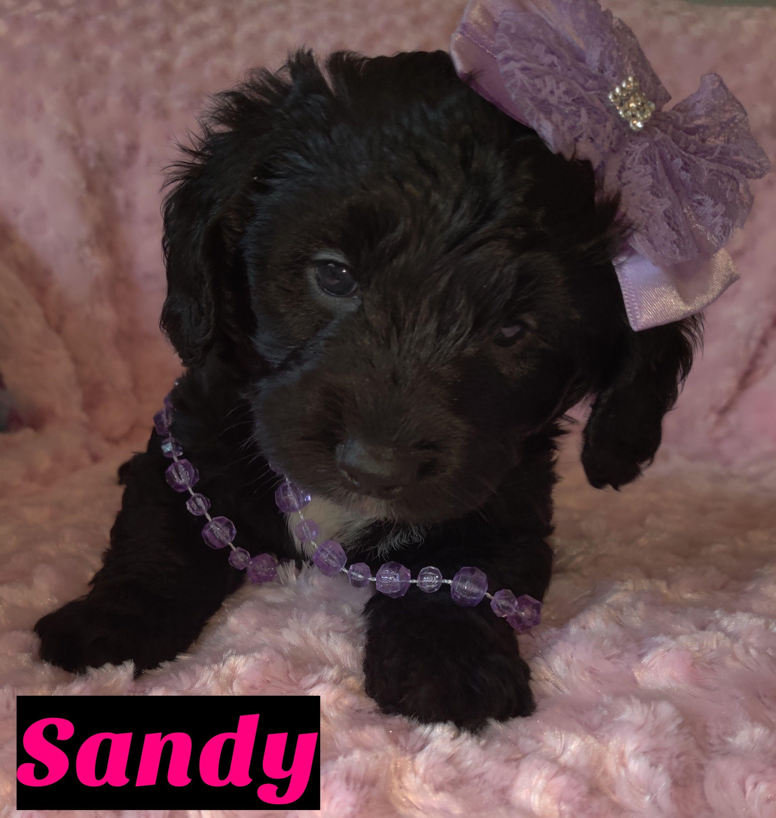Sandy female puppy Mini Goldendoodle for sale at Saint