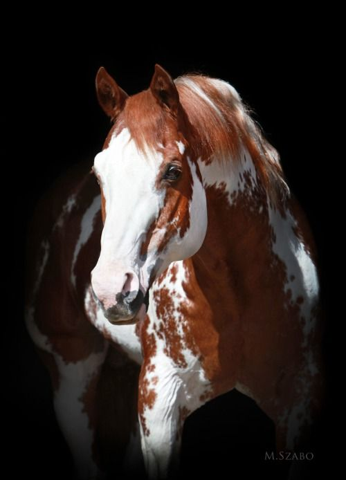 Sierra Supreme 28 year old APHA Stallion