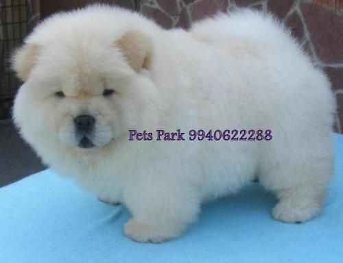 A White Chow Chow How Cute Someday Gonna Have U Chow