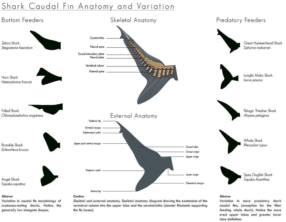 Angel Shark Anatomy Diagram Diy Enthusiasts Wiring Diagrams