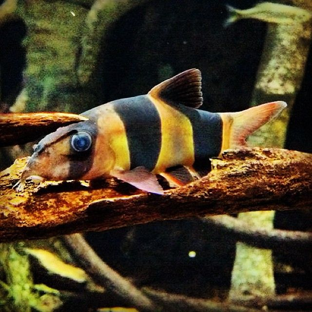 Oddtober Fact The Clown Loach Sometimes Plays Dead Lying On The Bottom Of The Tank On Its Side In 2021 Tennessee Aquarium Fish Pet Aquarium Fish