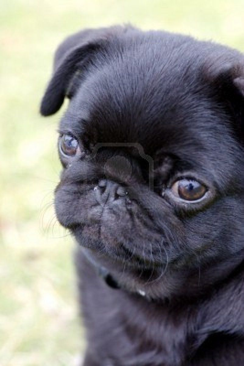Stock Photo Black Pug Puppies Baby Pugs Cute Pugs