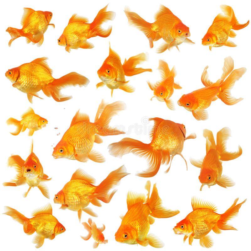 Collage Of Fantail Goldfish Collage Of Orange Fantail Goldfish Aff Fantail Collage Orange Goldfish Ad Image Of Fish Goldfish Watercolor Fish