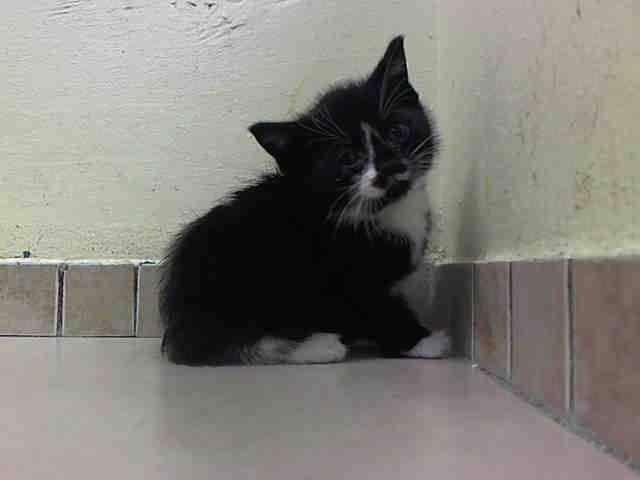 TO BE DESTROYED 5/31/14Brooklyn CenterMy name is SAMMIE. My Animal ID # is A1001121.I am a male black and white amer sh mix. The shelter thinks I am about 4 WEEKS old.I came in the shelter as a STRAY on 05/27/2014 from NY 11420, owner surrender reason stated was STRAY. I came in with Group/Litter #K14-178829.