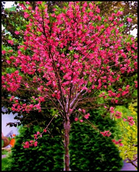 Marion jarvie flowering peach a small fruitless tree for Pink small tree