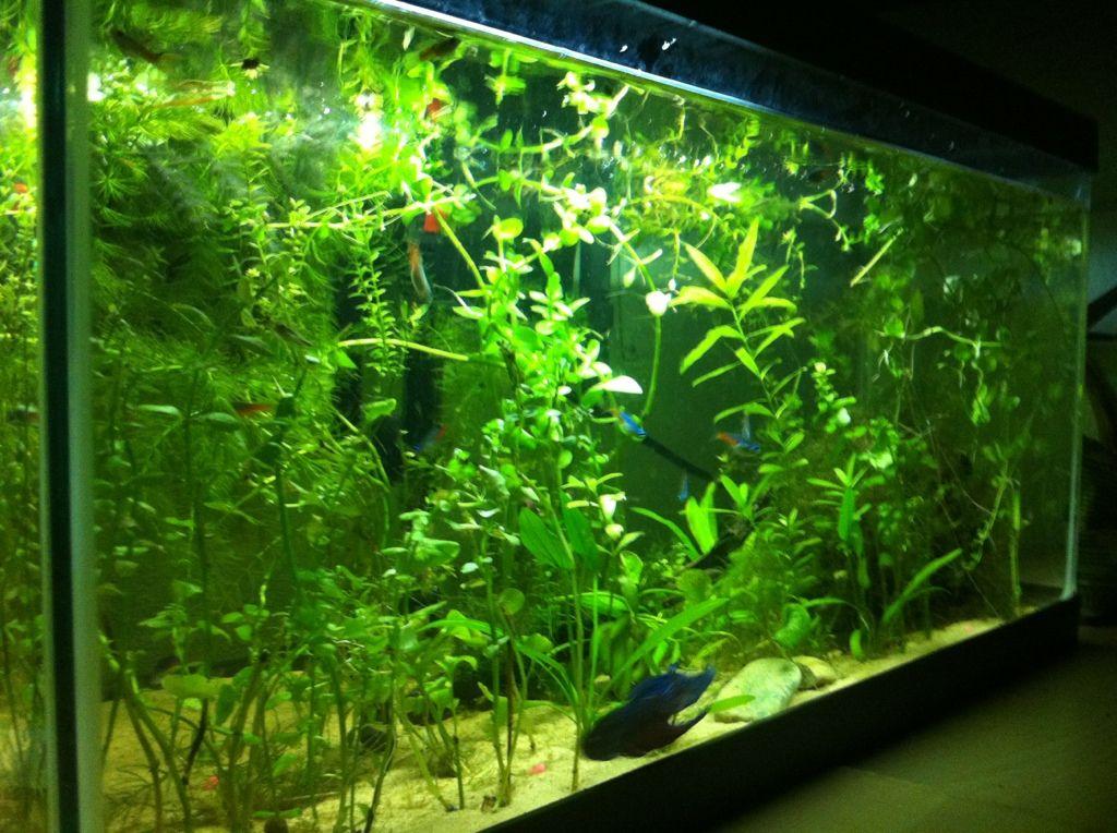 A betta fish in a big community tank bettas can 39 t live for Live fish aquarium