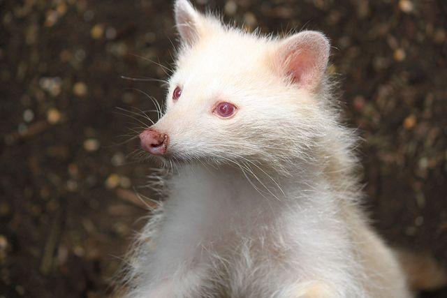 albino raccoon animals melanistic animals albino