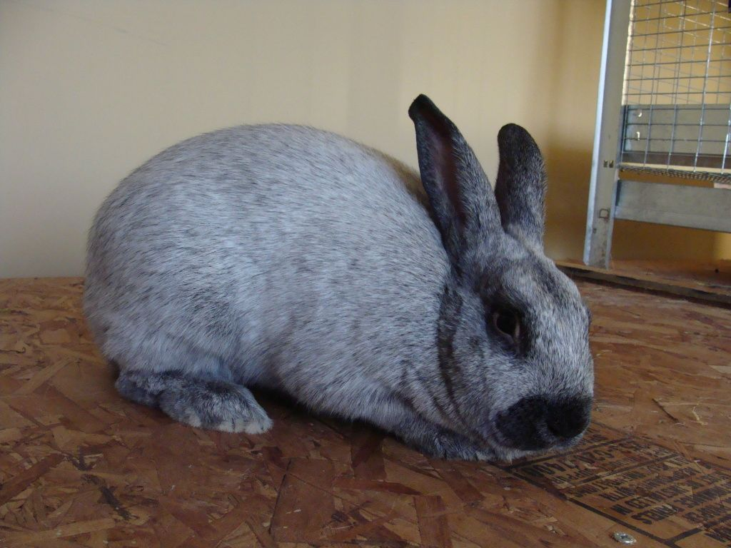 top 10 meat rabbits www imperfectlyhappy com champagne d argent