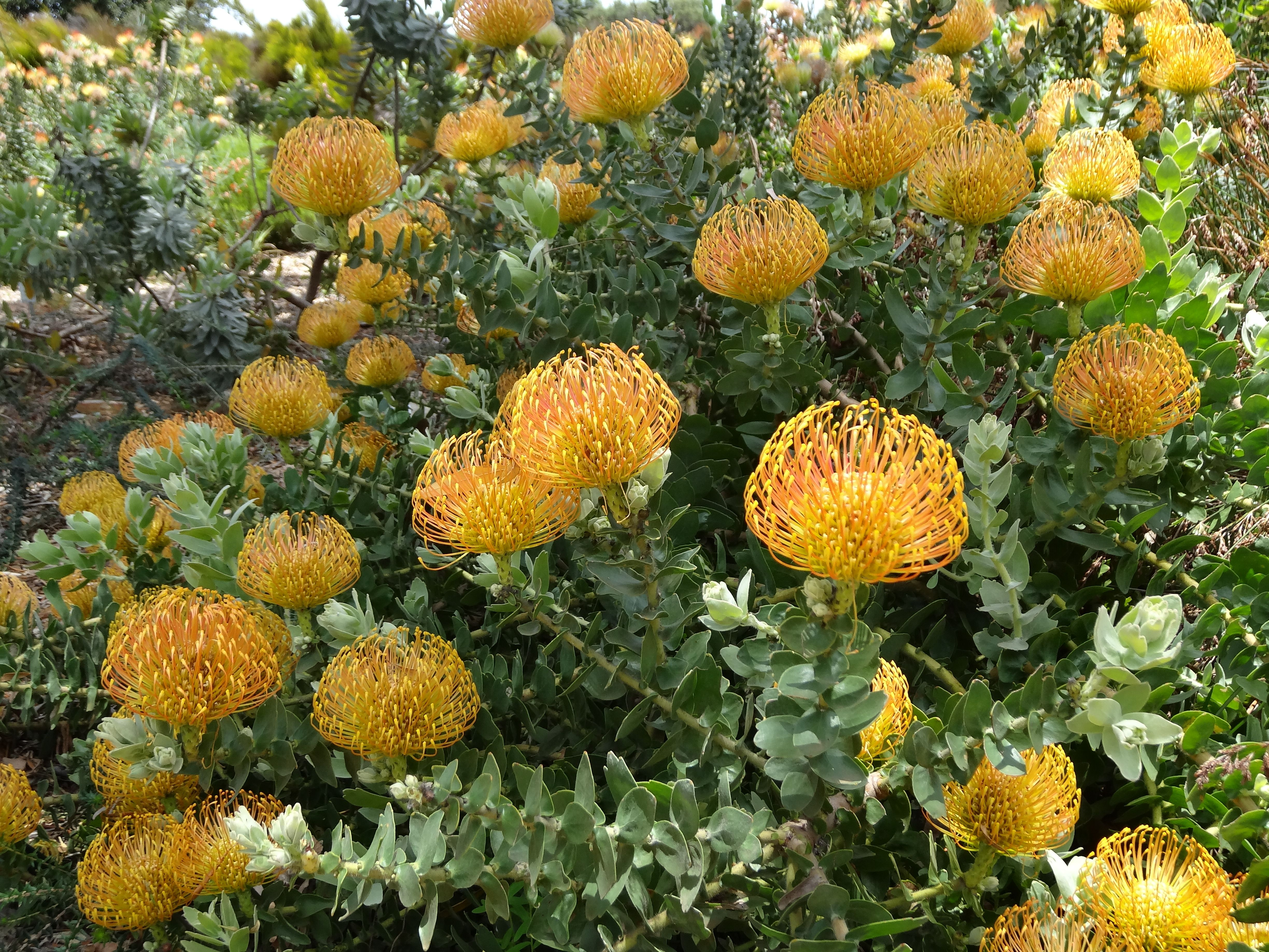 Proteas South African Flora South African Flora Pinterest