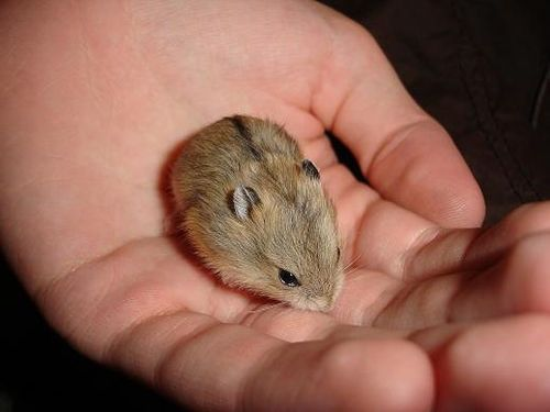 Baby Dwarf Hamsters Hamster Dwarf Hamster Pets
