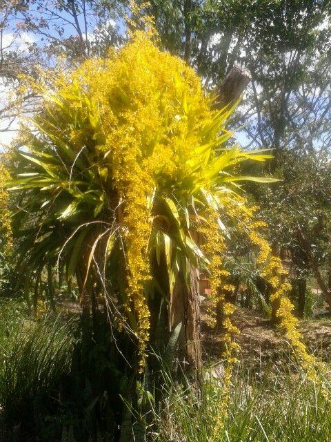 """Belleza de orquídea en mi jardín! En Costa Rica, se acostumbra llamar """"lluvia de oro."""""""