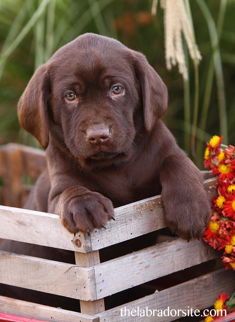 6 Week Old Puppy Adopting And Care Your Questions Answered Labrador Retriever Labrador Chocolate Labrador Retriever