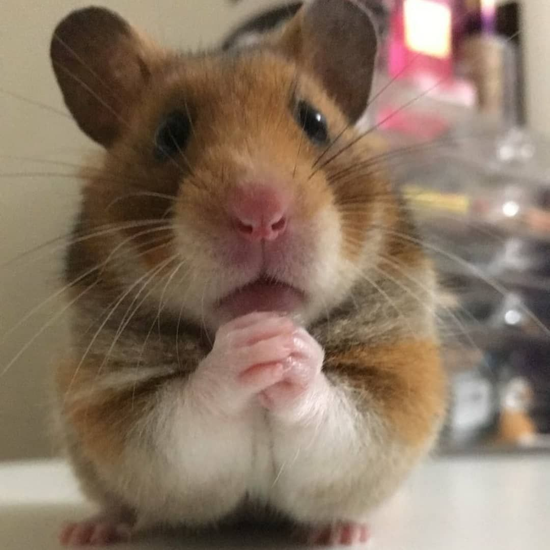 Food Pls Pets2day Is A Fantastic Page Give Us A Follow Hamster Hamsterballs Animal Pet Pethamster Hams Funny Hamsters Cute Funny Animals Cute Hamsters