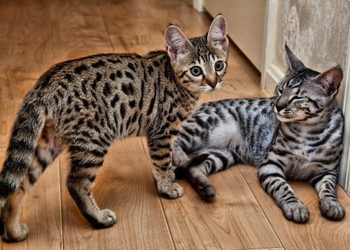 Savannah Kittens Savannah Kitten Cute Baby Animals F5 Savannah Cat
