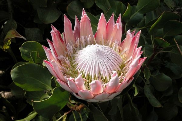 Protea Flower Of South Africa Fiori