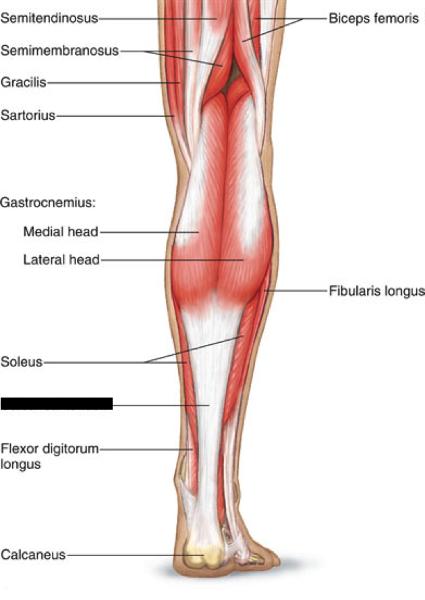 Leg Muscle Flashcards Imagenesmi