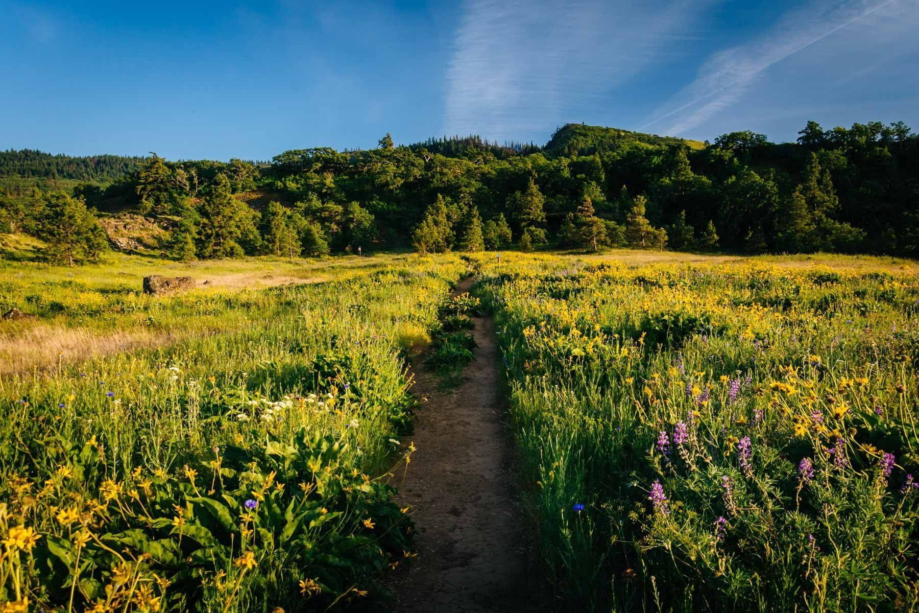 Wildflowers along a trail, at Tom McCall Nature Preserve, Columbia ...