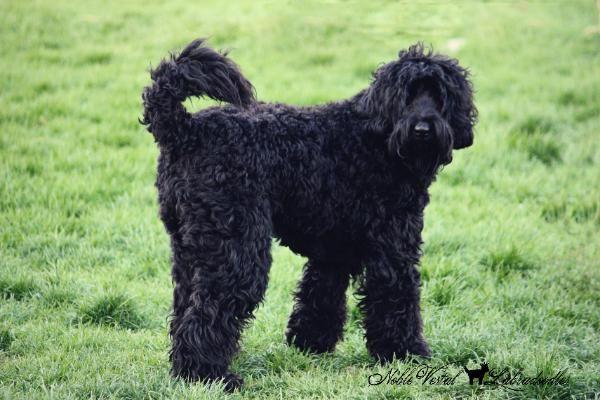 Home Of Noble Vestal Labradoodles Labradoodle Black Labradoodle Dog Heaven