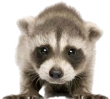 I Am A Baby Raccoon I Will Be Born In Your Attic In About A Month Or So Do You Have Loud Noises In The Attic You May Have Baby