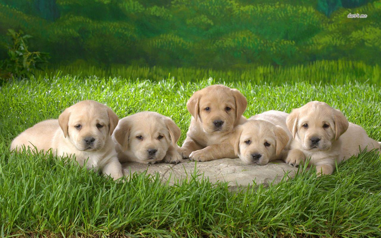 Labrador Retriever Dog Breeds High Resolution Images