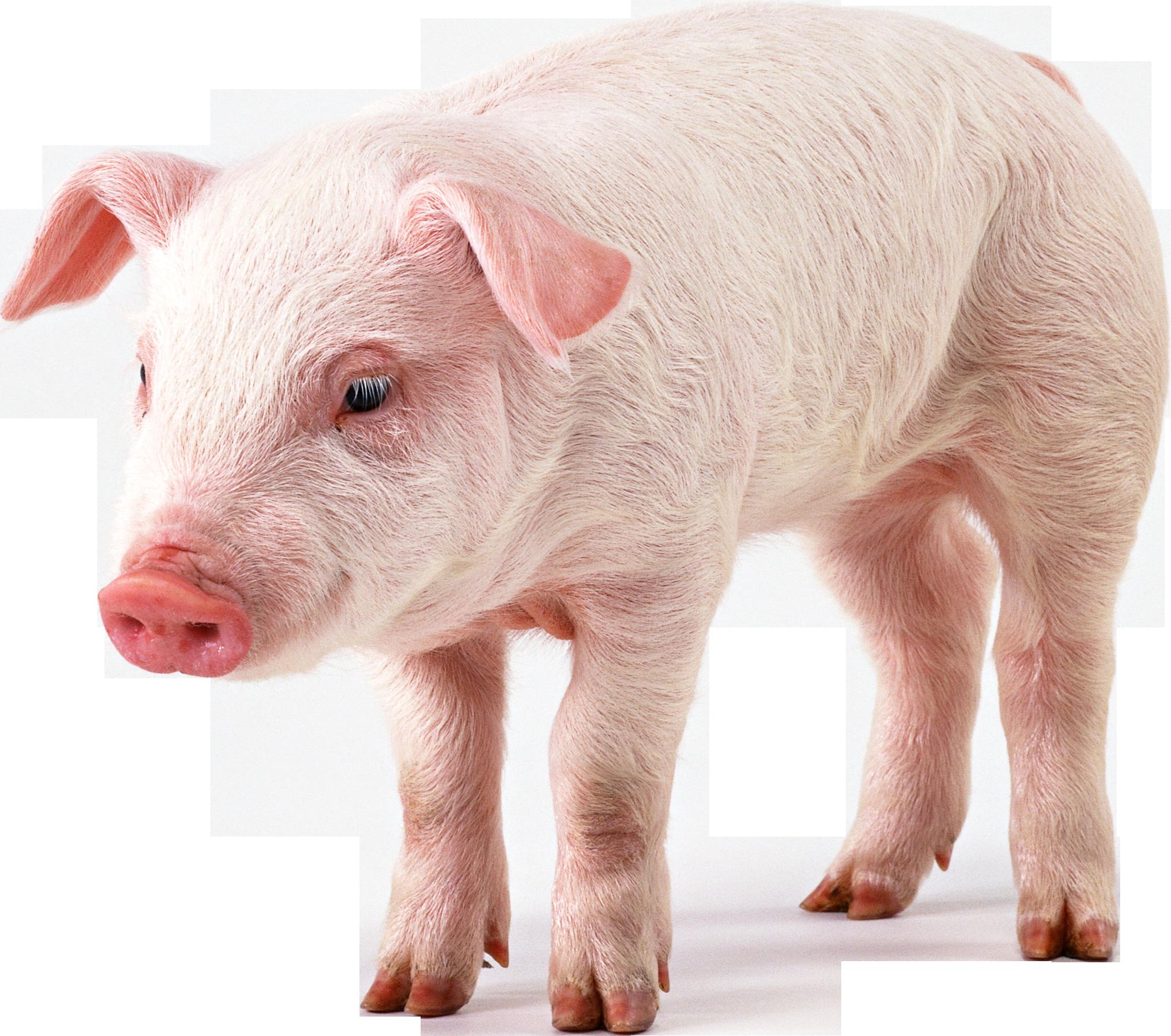 Pig Png Pig Pictures Pig Png Pig Wallpaper