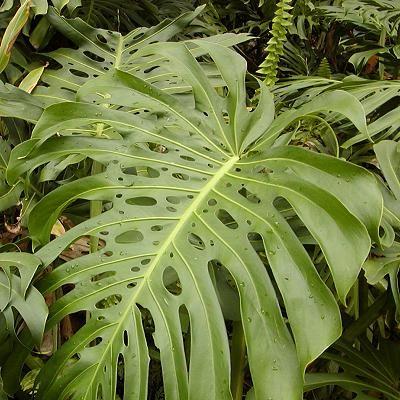 Hawaiian Plants - 14 - Monstera deliciosa