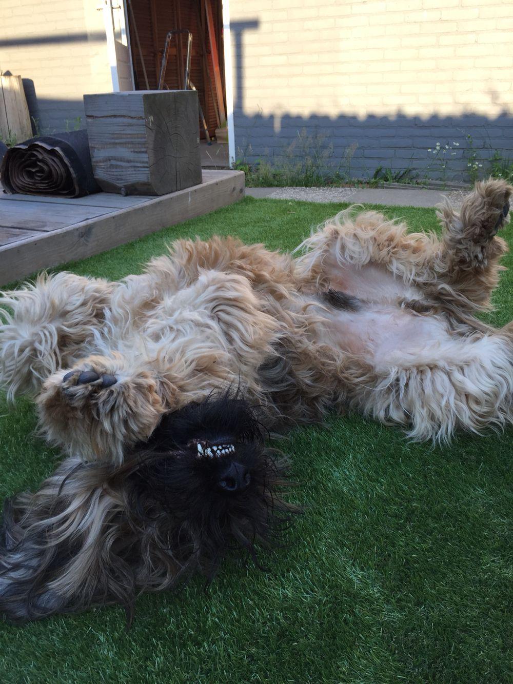 Briards Need Attention Briard Hund Russischer Terrier Terrier