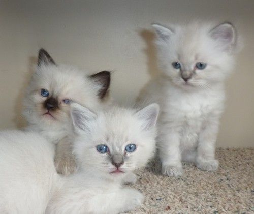 Ragdoll Kittens Ragdoll Kitten Kittens Cutest Kittens And Puppies