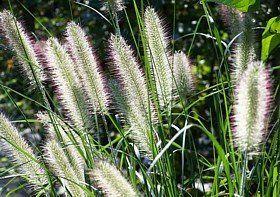 Winterharte Mittelhohe Ziergras Arten Ziergras Winterhart Kaktus