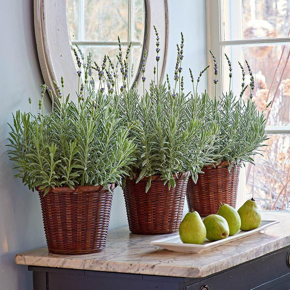 Lavender Goodwin Creek Grey Indoor Lavender Plant Plants