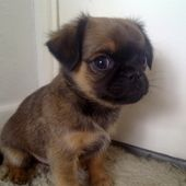 Chihuahua X Pug For Sale In Nottinghamshire East Midlands Dogs