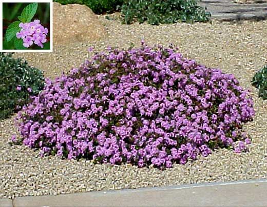 Purple hedge flowers lantana ground cover let 39 s get for Low maintenance desert plants