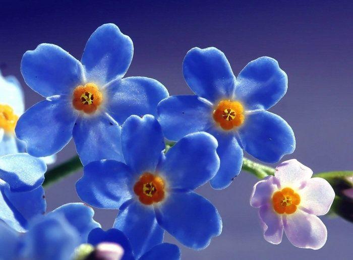 Красивые голубые цветочки -макро фото | Фотографии цветов ...  Цветочки Розы
