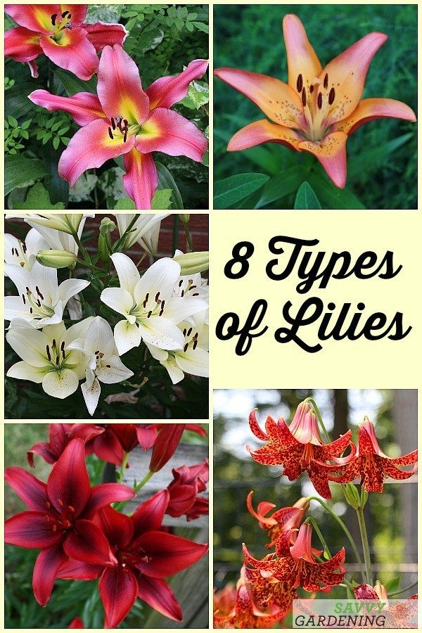 Types of Lilies: 8 Beautiful, Cold-hardy Choices for the Garden #gardening #perennials