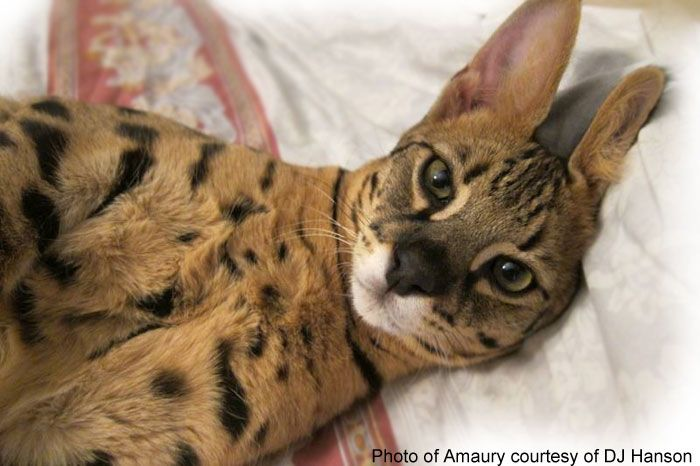 The Most Trusted Savannah Cat Website On The Internet The