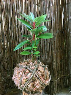 kokedamas con especies nativas, una maravilla de plantas!!!!