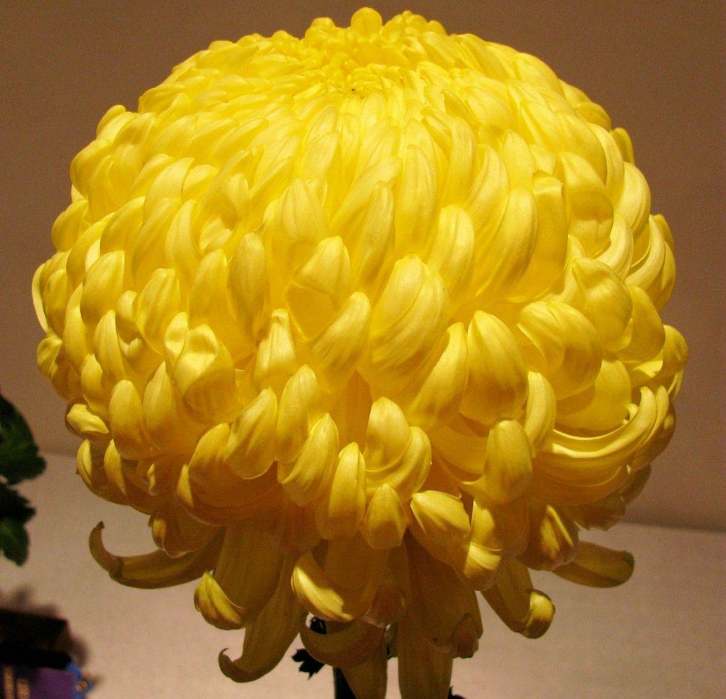 Chrysanthemum Wikipedia The Free Encyclopedia Flowers