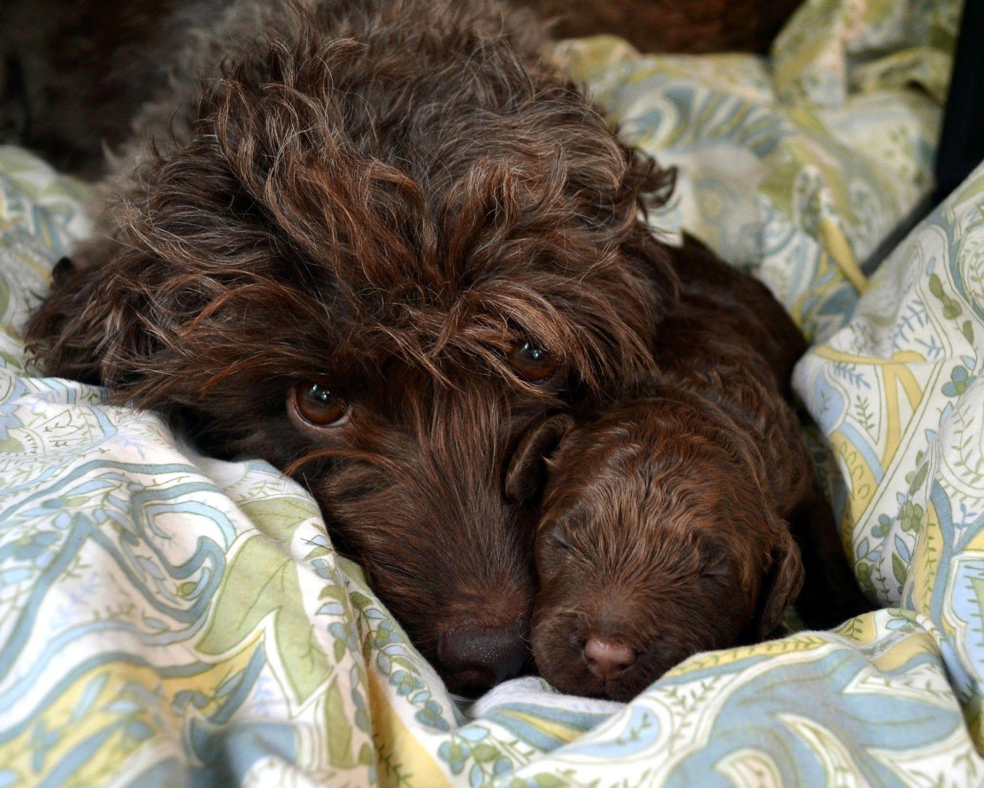 Google+ Labradoodle puppy, Australian labradoodle