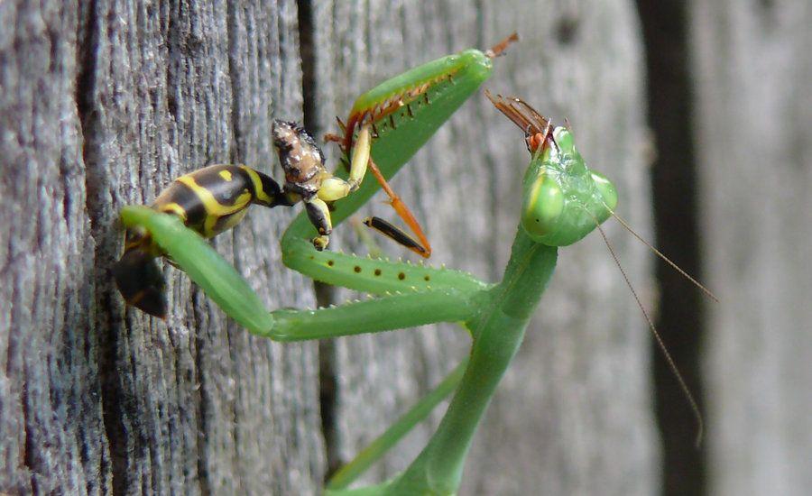 What Do Baby Praying Mantis Eat
