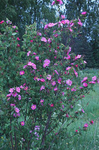 Rosa marretii