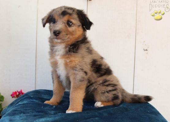 Sugar Border Collie Mix Puppy for Sale in Millerstown